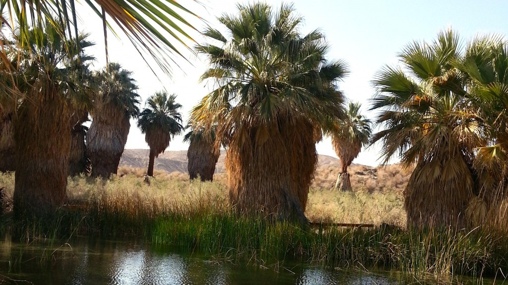 Palm Oasis at the Coachella Valley Preserve