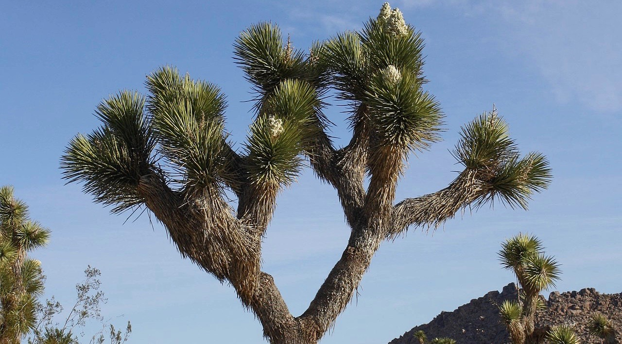 Joshua Tree by Bernard Gagnon