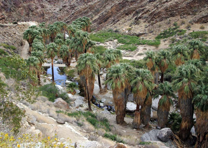 Palm trees surrounding small pool of water from Indian Canyon trail