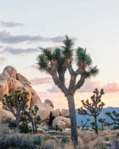 Joshua trees at sundown with pastel-colored skies with large rock formation to the far left and rolling hills in distance